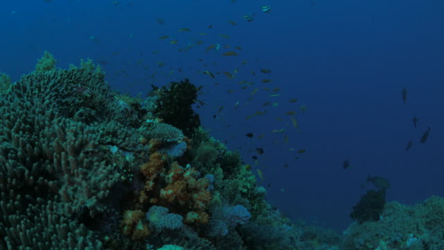 Anthias fish and butterflyfish schooling in coral rock