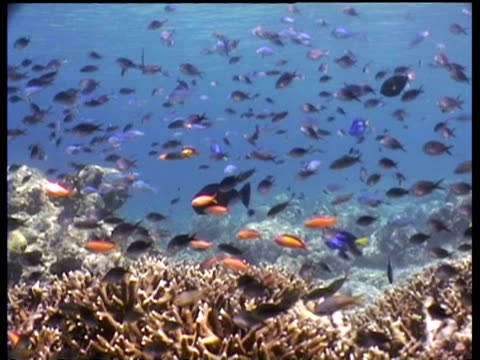 ms anthias fish and other various fish swimming together over edge of coral reef, pan left and right, sipadan, borneo, malaysia - anthias fish stock videos & royalty-free footage