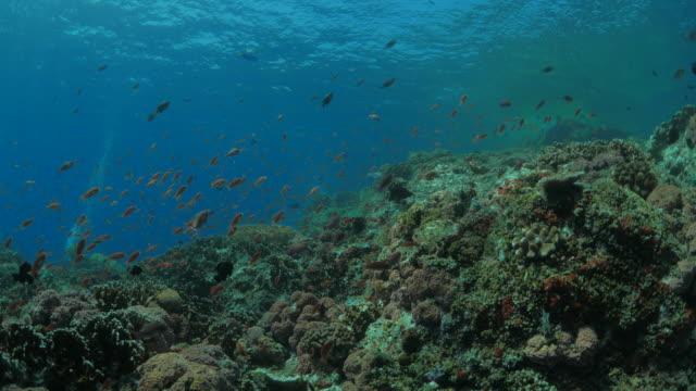 Anthias fish, coral reef, tropical ocean, swimming