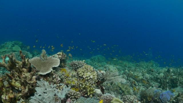 anthias fish, coral reef - anthias fish stock videos & royalty-free footage
