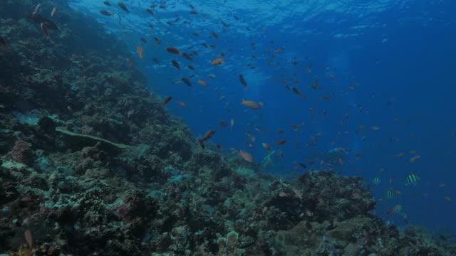anthias fish, healthy coral reef, komodo, indonesia (4k) - soft coral stock videos & royalty-free footage
