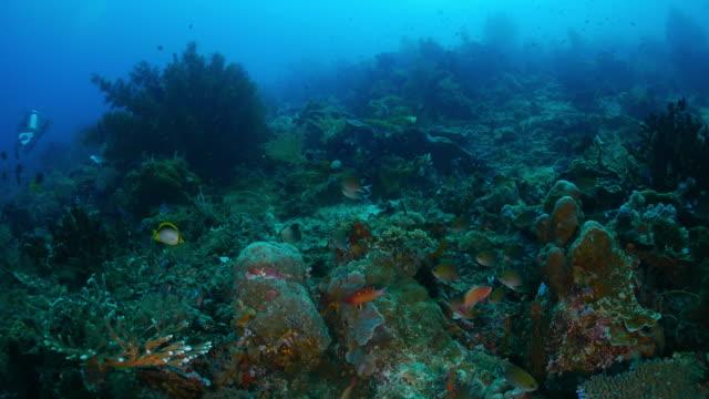 anthias fish in coral reef, undersea - anthias fish stock videos & royalty-free footage