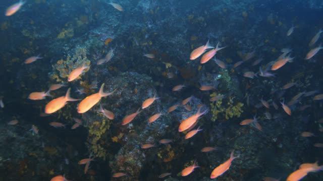 vidéos et rushes de anthias fish of mediterranean sea. - vincent pommeyrol