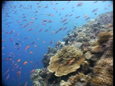 ms anthias fish school, many fish swimming over coral reef, sabah, borneo, malaysia - aquatic organism stock videos & royalty-free footage