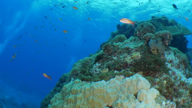 anthias fish schooling at undersea coral reef, taiwan - anthias fish stock videos & royalty-free footage