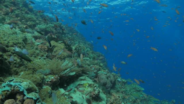 anthias fisk, skolgång, korallrev, tropiska havet - dykarperspektiv bildbanksvideor och videomaterial från bakom kulisserna