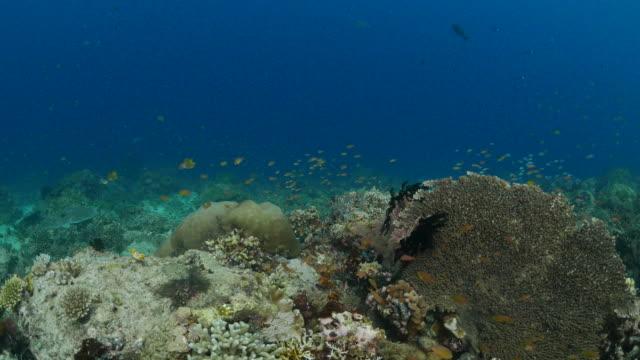 anthias fish schooling, coral reef - anthias fish stock videos & royalty-free footage