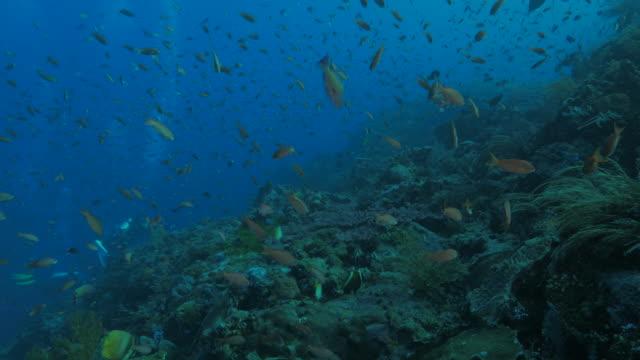 Anthias fish schooling in coral reef undersea