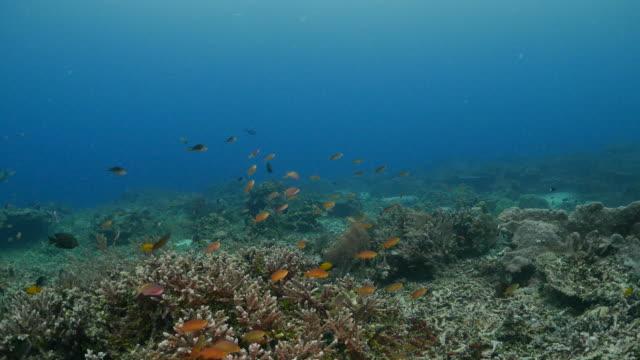 anthias fish schooling in coral reef - anthias fish stock videos & royalty-free footage