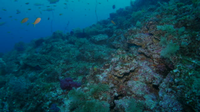 Anthias fish schooling in coral reef