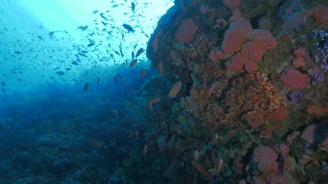 Anthias fish schooling in pink coral undersea