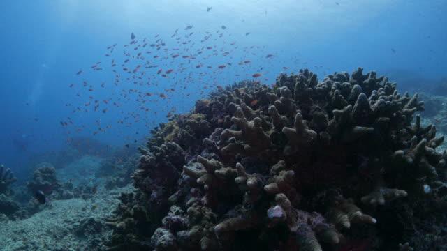Anthias fish schooling on coral (4K->FHD)