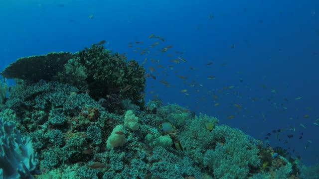 Anthias fish schooling undersea in Komodo