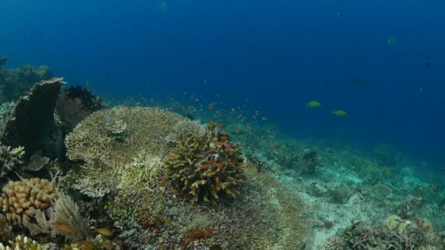 anthias fish, staghorn hard coral - anthias fish stock videos & royalty-free footage