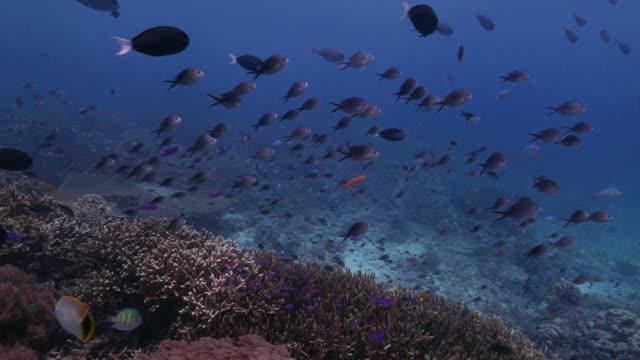 Anthias fish, surgeonfish, schooling, coral reef, Sipadan