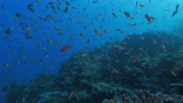 Anthias fish swimming everywhere, Indonesia (4K)