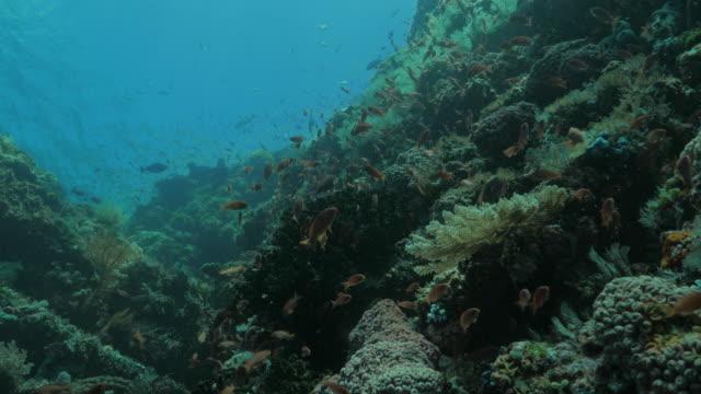 Anthias fish swimming in coral reef, tropical ocean