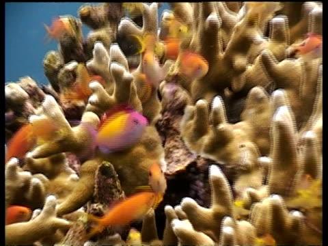 cu anthias fish,  swimming over coral reef, sabah, borneo, malaysia - anthias fish stock videos & royalty-free footage