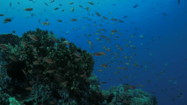 anthias fish, tropical fish, swimming, beautiful coral reef - anthias fish stock videos & royalty-free footage