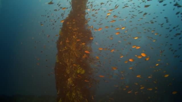 anthias fish - anthias fish stock videos & royalty-free footage