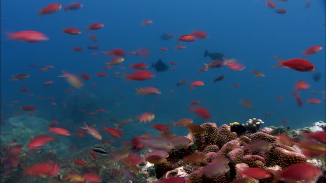 Anthias (Pseudanthias sp.) shoal swims over reef, West Papua, Indonesia