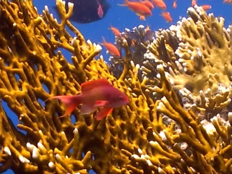 anthias with fire coral - mittelgroße tiergruppe stock-videos und b-roll-filmmaterial