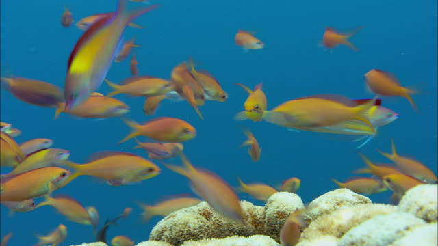 anthiases (anthiinae) on coral reef, banda islands, indonesia - tropical fish stock videos & royalty-free footage