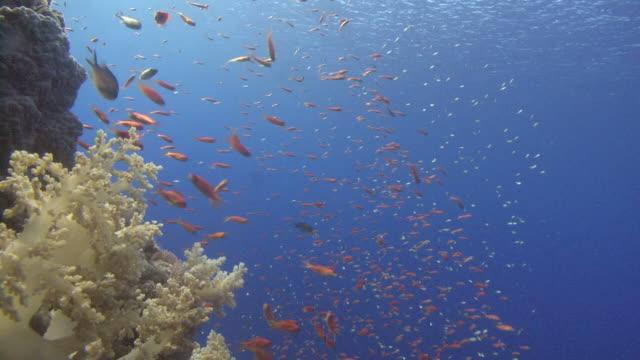 Anthius ( Pseudanthius squamipinnis) CU, Red sea, Egypt