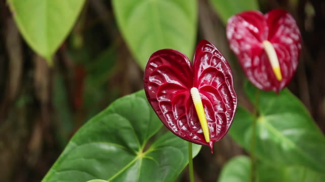 MS Anthurium flowers shaking by wind / Hilo, Big Island,Hawaii, United States