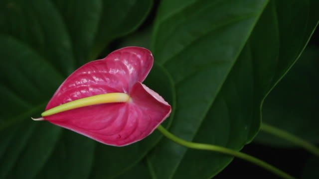 cu anthurium flowers shaking by wind / hilo, big island,hawaii, united states - anthurium stock videos & royalty-free footage