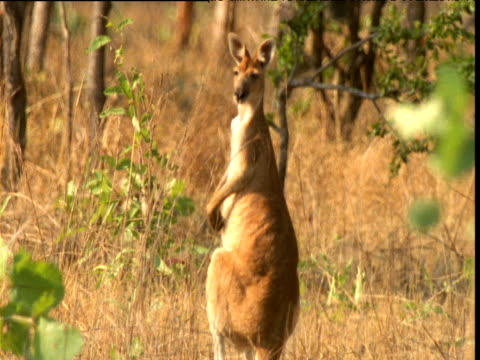 Antilopine kangaroo looks around in bush, Northern Territory, Australia