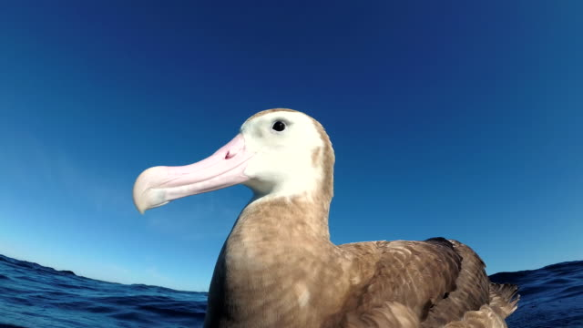 antipodean albatross floating on blue water, pacific ocean, north island, new zealand. - north pacific ocean stock videos & royalty-free footage