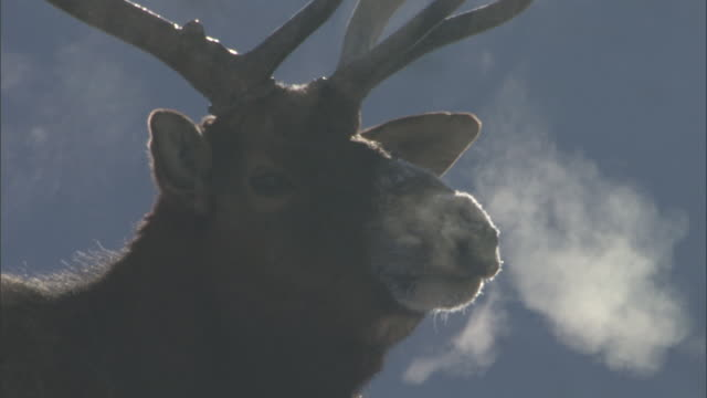 antlers and steaming breath of elk (cervus canadensis) stag, yellowstone, usa - sichtbarer atem stock-videos und b-roll-filmmaterial