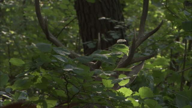 vídeos y material grabado en eventos de stock de antlers of red deer stag amongst foliage, bialowieza, poland - poland