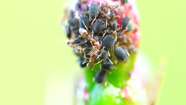 vídeos y material grabado en eventos de stock de hormigas y áfidos en cactus de flor 4 k - simbiosis