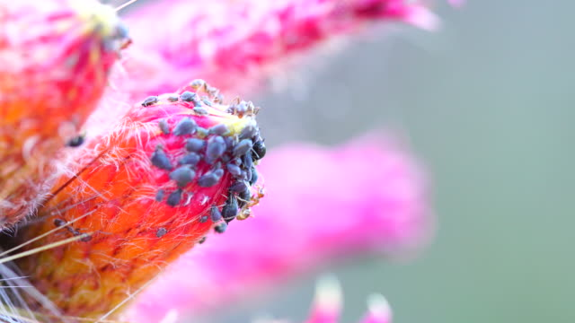 Ants and aphids in cacti flower 4K