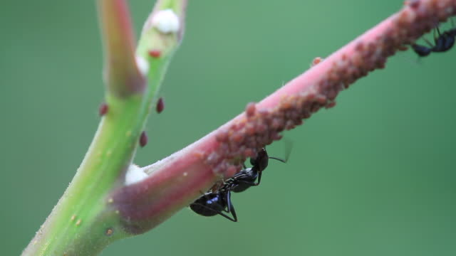 ants and aphids mutualism - lebenszyklus stock-videos und b-roll-filmmaterial