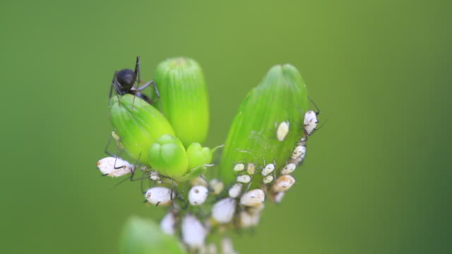 ants and aphids mutualism - symbiotic relationship stock videos & royalty-free footage