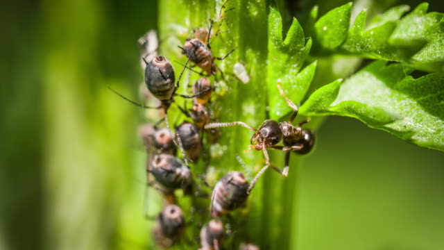 ants and aphids on branch - symbiotic relationship stock videos & royalty-free footage