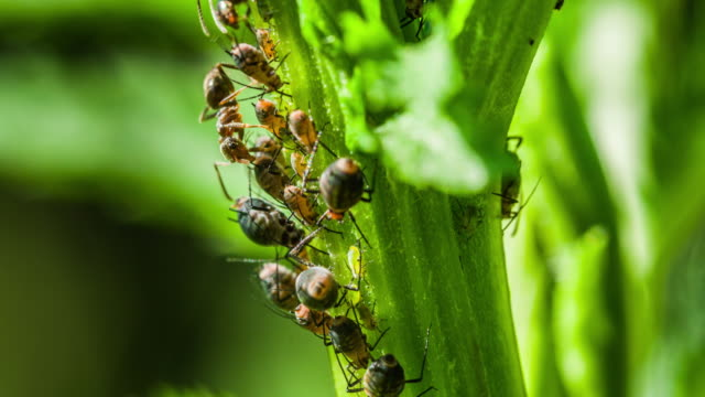 ants and aphids symbiosis - nettle stock videos & royalty-free footage