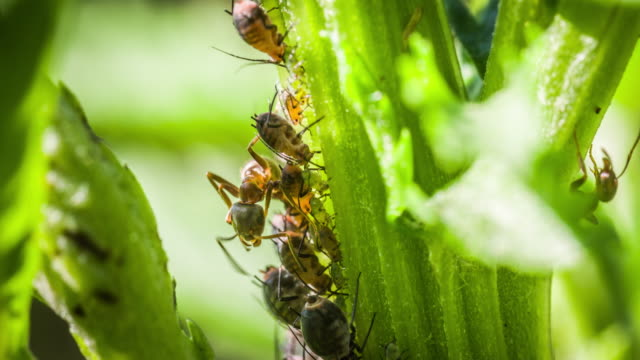 ants and aphids - nettle stock videos & royalty-free footage