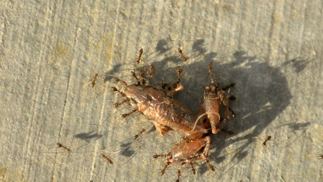 ants carry carcass - ant stock videos and b-roll footage