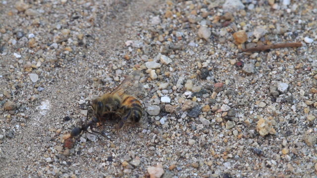 ants carrying dead bee - dead animal stock videos & royalty-free footage