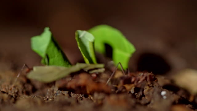 ecu ants carrying leaves - foglia video stock e b–roll