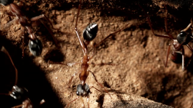 ants crawl around the entrance to their nest. - ant stock videos & royalty-free footage