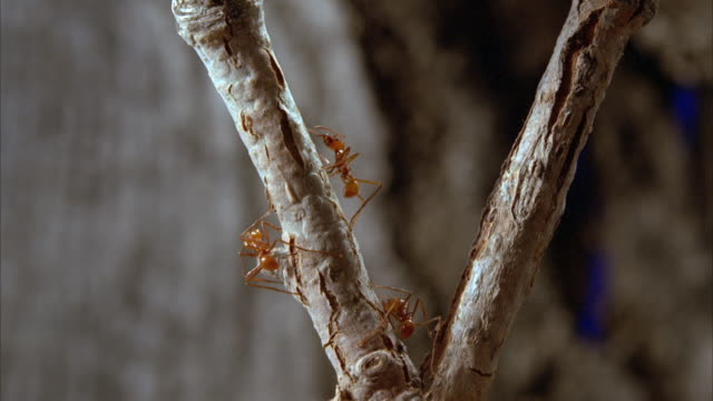 Ants crawl on a branching twig. Available in HD.