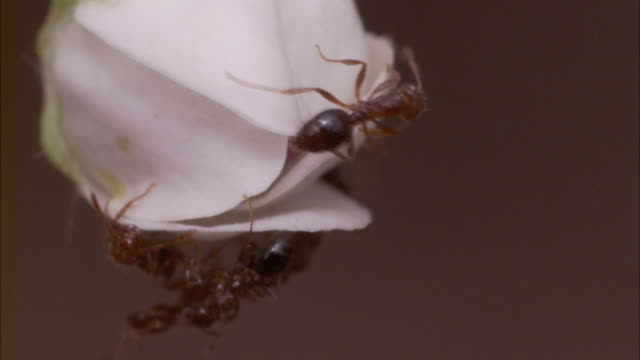ants crawl over a lily bud. - ameisen stock-videos und b-roll-filmmaterial