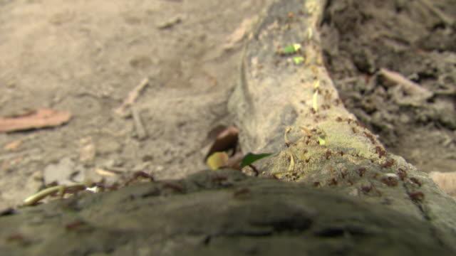 CU of ants crawling over log while man steps over, Tayrona National Natural Park [Parque Nacional Natural Tayrona], Sierra Nevada, Colombia