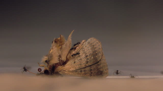ants eat butterfly - colony group of animals stock videos & royalty-free footage