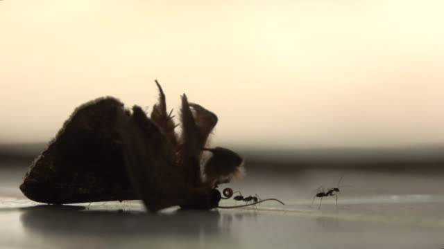 ants eat butterfly - portare video stock e b–roll